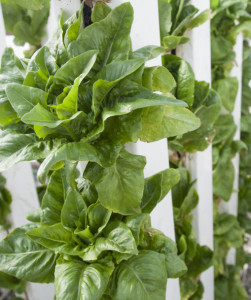 lettuce-in-zipgrow-towers-1024x647